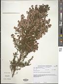 view Erica scabriuscula Lodd. digital asset number 1