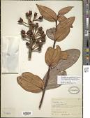 view Psammisia macrophylla (H.B.K.) Klotzsch digital asset number 1