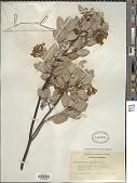 view Arctostaphylos glauca Lindl. digital asset number 1