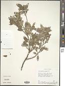 view Arctostaphylos pungens H.B.K. digital asset number 1