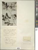 view Vaccinium membranaceum Douglas ex Torr. digital asset number 1