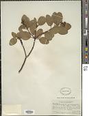 view Arctostaphylos platyphylla (A. Gray) Kuntze digital asset number 1