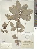 view Cavendishia nitida (Kunth) A.C. Sm. digital asset number 1