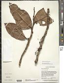 view Satyria carnosiflora Lanj. digital asset number 1