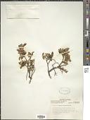view Vaccinium caespitosum Michx. digital asset number 1