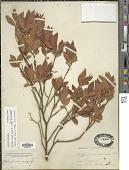 view Gaylussacia baccata (Wangenh.) K. Koch digital asset number 1