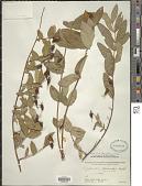 view Hypericum oblongifolium Choisy digital asset number 1