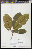 view Sloanea amygdalina subsp. domingensis (Urb.) T.D. Penn. digital asset number 1