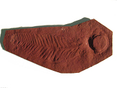 view Charniodiscus arboreus Glaessner, 1959 digital asset number 1