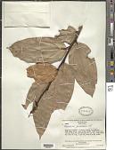 view Psammisia guianensis Klotzsch digital asset number 1