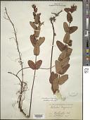 view Triadenum virginicum (L.) Raf. digital asset number 1