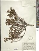 view Vaccinium myrsinites Lam. digital asset number 1