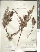 view Vaccinium floribundum Kunth digital asset number 1