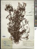 view Hypericum linoides A. St.-Hil. digital asset number 1