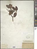 view Arbutus texana Buckley digital asset number 1