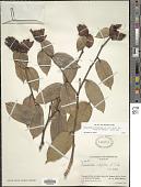 view Cavendishia bracteata (Ruiz & Pav. ex J. St.-Hil.) Hoerold digital asset number 1