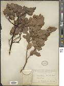 view Arctostaphylos tomentosa (Pursh) Lindl. digital asset number 1