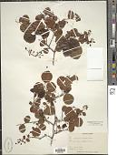 view Vaccinium arboreum Marshall digital asset number 1