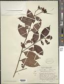 view Vismia cayennensis (Jacq.) Pers. digital asset number 1
