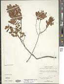 view Gaylussacia dumosa (Andrews) Torr. & A. Gray digital asset number 1