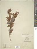 view Themistoclesia pendula Moritz ex Klotzsch digital asset number 1