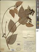 view Vismia baccifera subsp. ferruginea (Kunth) Ewan digital asset number 1