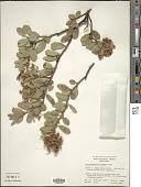 view Arctostaphylos pringlei Parry digital asset number 1