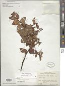 view Gaultheria erecta Vent. digital asset number 1