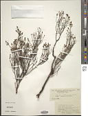 view Philippia pallidiflora digital asset number 1