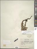 view Gaultheria anastomosans (L. f.) Kunth digital asset number 1