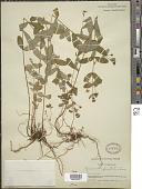 view Hypericum punctatum Lam. digital asset number 1