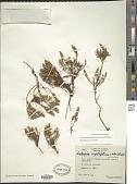 view Disterigma empetrifolium (Kunth) Drude digital asset number 1