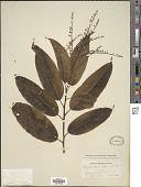 view Oxydendrum arboreum (L.) DC. digital asset number 1