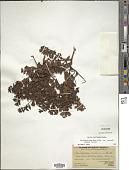 view Gaultheria buxifolia var. secunda (J. Rémy) Luteyn digital asset number 1