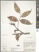 view Gaultheria acuminata Schltdl. & Cham. digital asset number 1