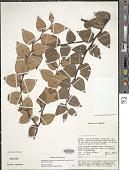 view Gaultheria trichocalycina DC. digital asset number 1