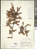 view Disterigma dendrophilum (Benth.) Nied. digital asset number 1