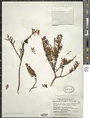 view Hypericum myricariifolium Hieron. digital asset number 1