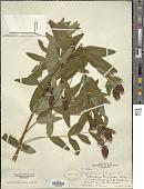 view Hypericum pyramidatum Aiton digital asset number 1