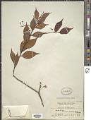 view Vaccinium tenuipes Merr. digital asset number 1