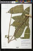view Pseudima frutescens (Aubl.) Radlk. digital asset number 1