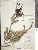 view Leucothoë coriifolia var. bradei digital asset number 1