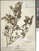 view Solanum macrotonum Bitter digital asset number 1