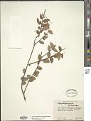 view Sphyrospermum cordifolium Benth. digital asset number 1