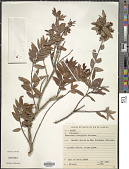 view Leucothoë oleifolia var. oleifolia digital asset number 1