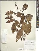 view Caraipa densifolia Mart. digital asset number 1