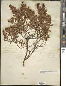 view Ascyrum hypericoides var. multicaule (Michx. ex Willd.) Fernald digital asset number 1