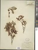 view Vaccinium parvifolium Small digital asset number 1