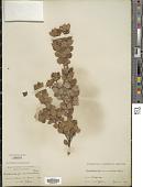 view Arctostaphylos nummularia A. Gray digital asset number 1