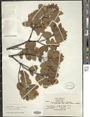 view Arctostaphylos crustacea Eastw. digital asset number 1